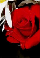 Red Rose by ValentinaEsse