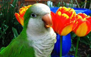 Parrot and Tulips by sc9