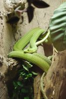 East African Green Mamba 01 by ManitouWolf