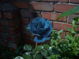 Blue rose by 003145