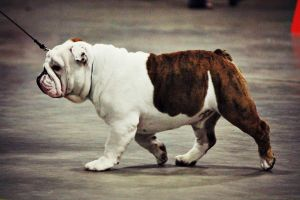 English Bulldog by kingstonrey