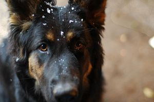 Baroc and the snow by Sabyo92
