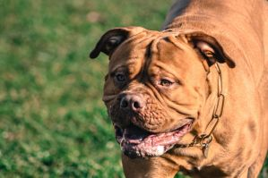 Dogue De Bordeaux by patrik1907