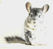 Chinchilla by LadyCzarna