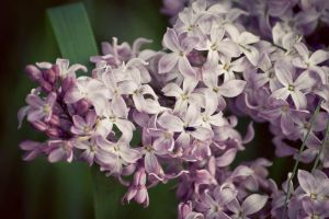 Syringa by pinguinette