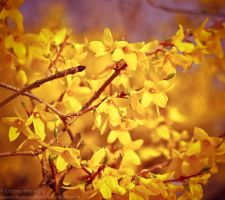 Forsythia by MarinCristina