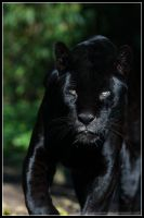 Black jaguar I by AF--Photography