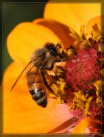 Honey Bee 40D0028921 by Cristian-M