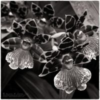 Laughing Orchids 01 by tmfNeurodancer
