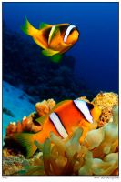 sharm: clowns by carettacaretta