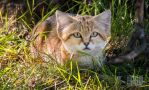 Sand Cat Hiding by PictureByPali