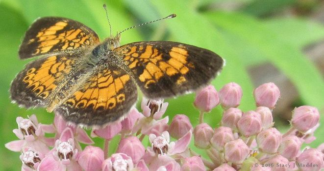 Butterfly On Milkweed by stardrifting