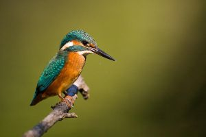 Kingfisher by JMrocek