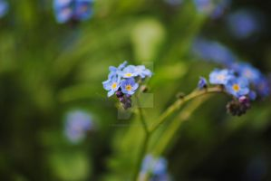 Forget Me Not by PennineRosa