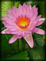 Pink Water-Lily by maska13