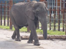Calimero the African Elephant by SSJGarfield