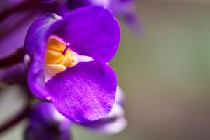 Purple Buttercup by mairlin