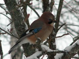 Eurasian Jay by Garbuend