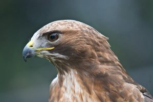 RedTailed Hawk by Sonny2005