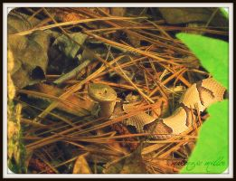 Juvenile Copperhead2 by SweetSurrender13