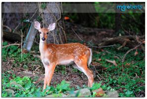 Fawn at Sunset 5625 by mgroberts