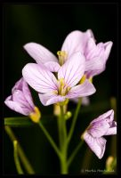 Cuckoo Flower by Haufschild
