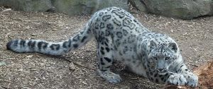 Snow Leopard Stock 20 by HOTNStock