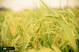 Golden Paddy 04 by kuriee