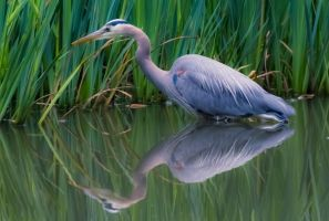 Heron Reflections by nigel3