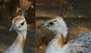 White Peahen Head by MapleRose-stock