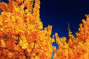Forsythia Against the Sky by Celem