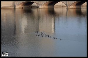 Swimming Gaggle by LarryDNJR