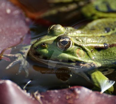 pool frog by michi1