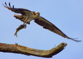 Osprey in flight by earlwyant