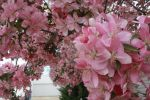 Crab Apple Blossoms by HopelesslyXHopeful16
