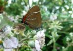 White-letter Hairstreak. by AdrianDunk