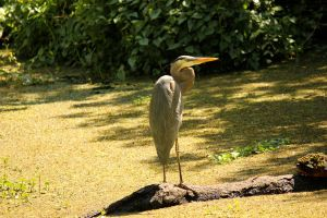 Heron on the River by DarkestSoul13