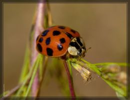 Asian Ladybug 40D0030646 by Cristian-M