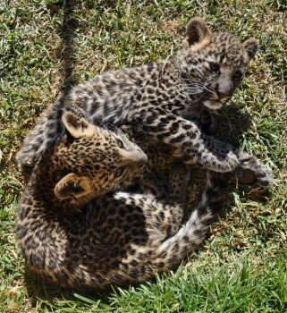 Leopard cubs - stock by kridah-stock