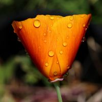 Poppy after the rain 01 by s-kmp