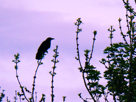 crow by Lucy-Redgrave