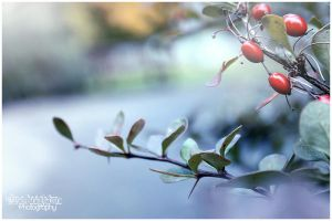 Cold Berries... by Clerdy