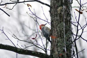 Red Headed Pecker 2 by exarobibliologist