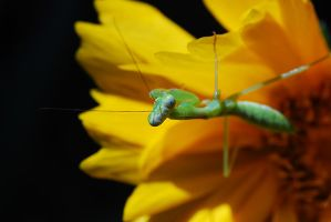 .:Mantid Potrait:. by sasonian37
