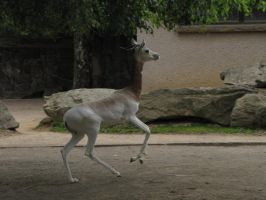 Dama Gazelle 06 by animalphotos