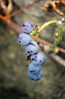Blue Berries by ExposurePersonality