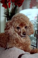 Little Brown Poodle by iMargreet