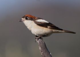 Curiosity- Woodchat Shrike by Jamie-MacArthur