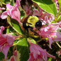 Weigela Bee by ButterflyJewel