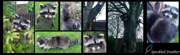 Melanistic Raccoon Soft Mount by Speckled-Feather